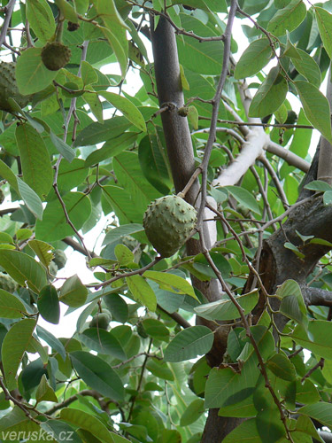 Annona, velmi lahodné ovoce. <em>Válelo</em> se všude kolem