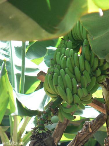 Banánovníkovými plantážičkami je Madeira posetá. Jak je někde kousek místa, hned tam rostou tyhle malé a počertech chutné banány.