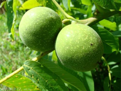 Zelené ořechy